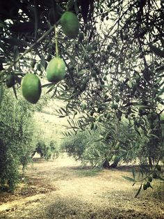 Types Of Olives, Country Life, Country Living, Olive Gardens, Picnic Time, Olive Tree, Nature Images, Evergreen, Olive Oil