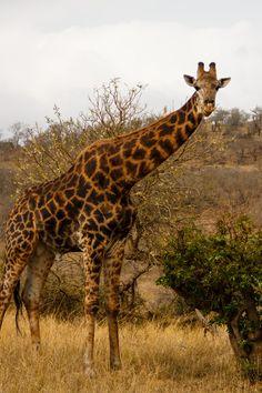 Giraffe in Hluhluwe ~ South Africa African Giraffe, African Safari, Okapi, Kangaroos, Zulu, Primates, Wild Things, Wild Life, Zebras