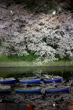 Cherry trees at Chidorigaura, Tokyo, Japan
