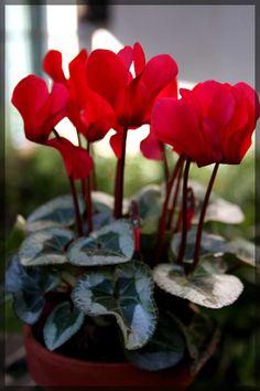 VIOLETA DE LOS ALPES ¡Flores tambien en Invierno! Te esperamos en el Vivero De Luca todos los dias de 8.30 a 20hs.