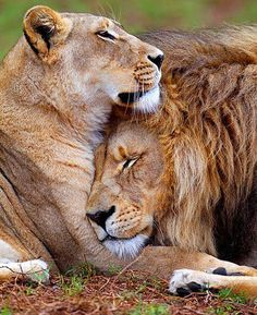 ♕ M - Lions in love