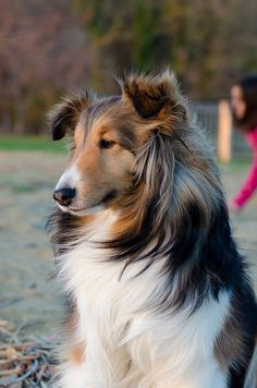 This collie is so pretty.