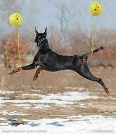 Flying #Doberman from Eric Nguyen