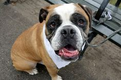 RETURNED AFTER 1 DAY!! 9/19/16 BITEPEOPLE !! SUPER URGENT Brooklyn Center SAFE 9/18/16 Manhattan Center CHARLIE – A1088310 ***SAFER-AVERAGE*** NEUTERED MALE, WHITE / BROWN, AMER BULLDOG, 3 yrs STRAY – STRAY WAIT, HOLD RELEASED Reason STRAY Intake condition UNSPECIFIE Intake Date 09/02/2016, From NY 10024, DueOut Date09/06/2016