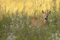 Buck deer in a clearing by Janusz Pienkowski on 500px