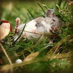 Napping field mouse