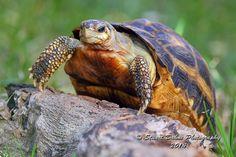 Spider tortoise (Pyxis arachnoides)