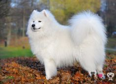 Top 10 razas con pelo blanco - Razas de perros
