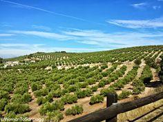 Olivares en el tramo de #CaminodeSantiago Mozárabe entre Cabra y Doña Mencía, #Córdoba, #Andalucía