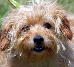 #46 Chipmunk: Norfolk Terrier/Yorkshire Terrier Yorkie Mix; New Haven, CT... Adopted.