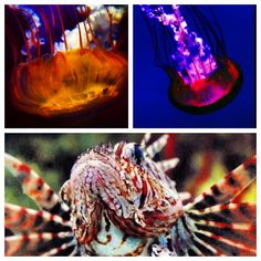 Jelly & Lion Fish
