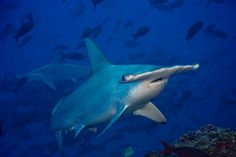 Sea Turtle Restoration Project : Action Alert, Please take action to protect Hammerhead sharks Animal Rights Quotes, Oakland Zoo, Shark Conservation, Animal Articles, Cocos Island, Hammerhead Shark, Sea Birds, Beautiful Islands, Day Trip