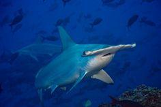 Shark Stewards: Saving Threatened Sharks