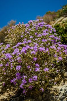 A beautiful Cretan Thyme bush in bloom. One of the most common aromas that you can enjoy when trekking the mountains of Ierapetra region. Ένα πανέμορφο ανθισμένο Κρητικό θυμάρι, γεμίζει με υπέροχο άρωμα τις ορειβατικές διαδρομές μας.