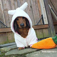 Bruno.Shortfoot on instagram #wienerbunny #easter #dachshund #brunoshortfoot #dogsincostumes