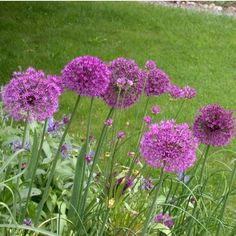 Purple Sensation allium - purple, 3ft high, full to part sun, late spring flowering. Cover w organic matter during winter. Beneficial to plant in late fall.