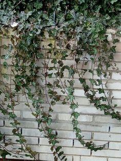 Břečťan popínavý Hedera Doma na zahradě