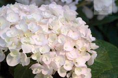 Die reinweiße Blütenpracht der Endless Summer® 'The Bride' nimmt beim verblühen einen schönen Rosastich an.