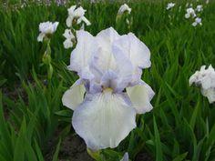 Iris germanica 'English Cottage'