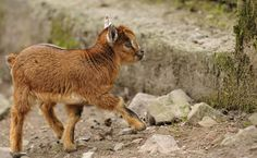 You haven't lived until you've seen a baby pygmy goat's dance.