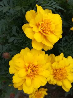 Fotografie Marigold, Plants, Plant, Planets