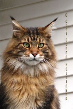 Main Coon - maybe I can convince Sean someday to add a cat - if not hopefully Chris or Con will have one of these guys