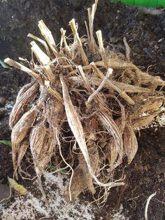 Slik får jeg god vekst og blomstring på dahlia. | SkarpiHagen Dahlia, Slik, Dahlias