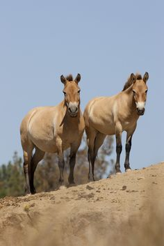In 1973, the San Diego Zoo Safari Park began breeding the endangered Przewalski's #horse, which had been considered extinct in its native #Mongolia since the 1960s.