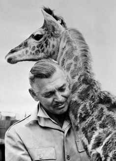 "Clark Gable with a giraffe during his time in Africa while filming ""Mogambo"" in 1952."