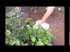 YouTube- inseticida natural contra pulgões e fungos