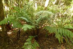 Grows readily in gardens in temperate or subtropical climates.