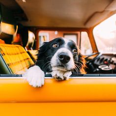 Astounding Border Collie Dog Tips Ideas Perros Border Collie, Border Collie Puppies, I Love Dogs, Cute Dogs, Animals And Pets, Cute Animals, Herding Dogs, Collie Dog, Tier Fotos