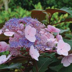 Hydrangea aspera 'Hot Chocolate' - Shrubs & Roses - Thompson & Morgan