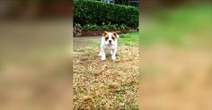 This Bulldog Puppy's First Time Feeling Rain Is The Cutest Thing You'll See All Day