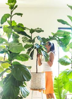 Grow beautiful Fiddle Leaf Fig trees easily using 5 essential care tips & tricks on fertilizer & soil, water, temperature, pest control, & some pro secrets! Peace Lily, Begonia, Propagating Hydrangeas, Ficus Lyrata, Hydrangea Landscaping, Chlorophytum, Fiddle Leaf Fig Tree, Indoor Plants, Indoor Garden
