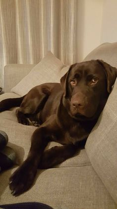 Confused About Your Canine? Read This For Clarity Labrador Retriever Chocolate, Chocolate Lab Puppies, Golden Retriever, Chocolate Labs, Chocolate Labradors, Cute Dogs And Puppies, Pet Dogs, Labrador Puppies, Retriever Puppies