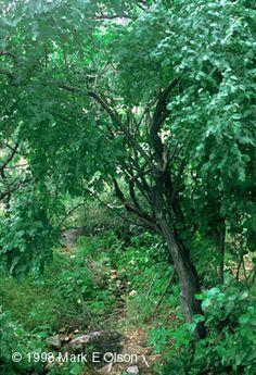 Moringa rivae [Family: Moringaceae]