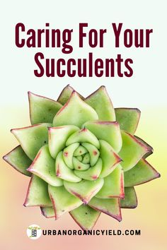 Read on for more information on what types of succulents you have and how to take care of your succulents. #SucculentTypes #Succulents #Gardening #UrbanOrganicYield