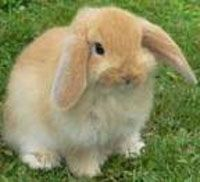 All Rabbit Breeds by Alphabetical Order