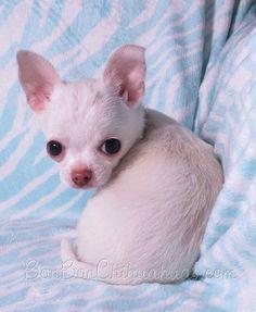 Dog And Puppies Bulldog BonBon chihuahua.Dog And Puppies Bulldog BonBon chihuahua Merle Chihuahua, Chihuahua Puppies For Sale, Baby Chihuahua, Dogs And Puppies, Puppies Gif, Poodle Puppies, I Love Dogs, Cute Dogs, Baby Animals