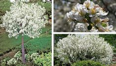 Lollipop Crabapple: The Lollipop Crabapple is a compact dwarf tree perfect for formal gardens, patios, and courtyard. Has showy white flowers in the spring and golden fruit that appears in the fall which attract birds.