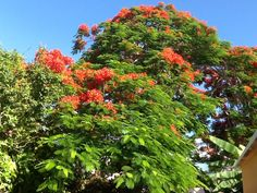 Our pretty Poinciana tree in her flowered ball gown