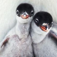 Penguins my favorite