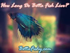 How long do betta fish live? Can you extend Betta Fish life span? First, if the conditions are right, the lifespan of betta fish varies between... www.bettafishy.com