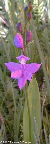 Calopogon pulchellis (Grass Pink Orchid)