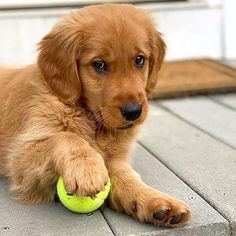 Cute Funny Animals, Cute Baby Animals, Funny Dogs, 9gag Funny, Really Cute Dogs, I Love Dogs, Cute Dog Quotes, Puppy Biting, Golden Puppy