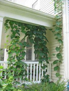 Backyard Birds, Climbers, Native Plants, Green Leaves, Habitats, Vines, Garden Ideas, Butterfly, Outdoor Structures