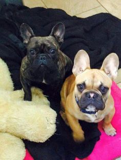 Girl and boy Frenchies, French Bulldogs
