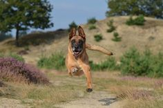 We love the fact that dogs love us with so much enthusiasm. It& part of their charm! But most of us don& love when our dogs are so excited to . The post My Dog Claws Me When I Come Home From Work appeared first on Journey Dog Training. Health Facts, Pet Health, Squirrel Appreciation Day, Meds For Dogs, Flying Dog, Malinois, When You Come Home, Dog Training Techniques, Dog Facts