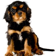 Cavalier King Charles Spaniel puppy, this is probably what my puppy will look like the litter is a black and tan mixed with a tri-colour.